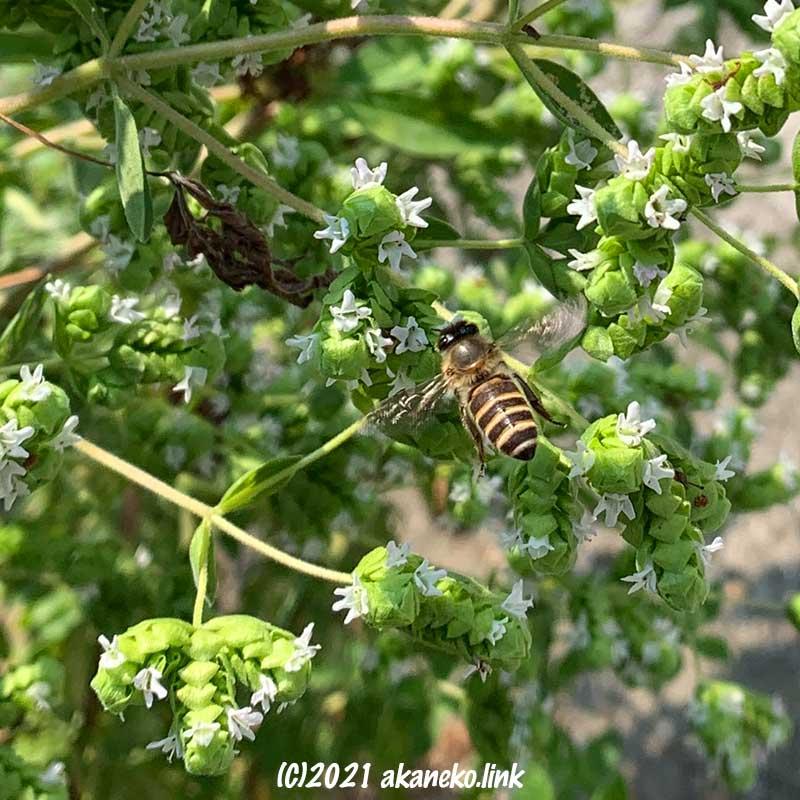 オレガノの花とニホンミツバチ