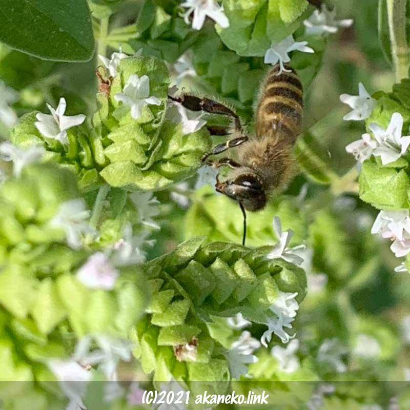 オレガノの花にやってきた日本蜜蜂