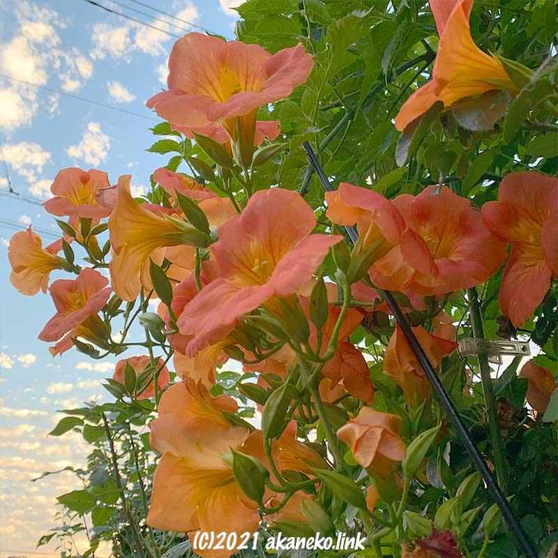 夕空とノウゼンカズラの花