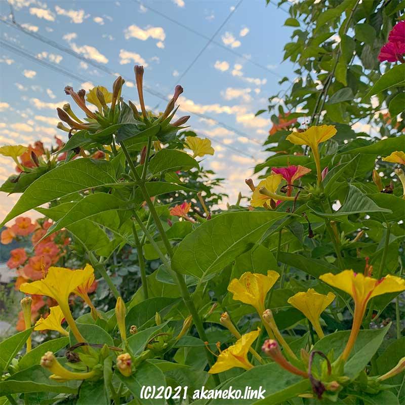 夕空とオシロイバナの花