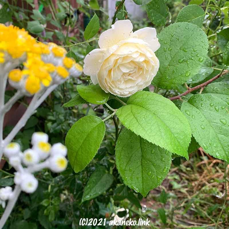 雨の中、俯いてさく白薔薇(クレア・オースチン)