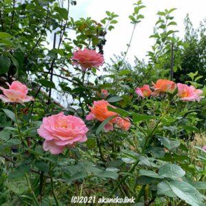 野草とともにたくましく咲くバラ(エル)