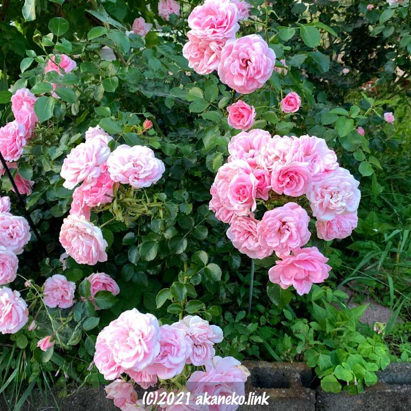 房咲きの春のバラ(ホームガーデン)