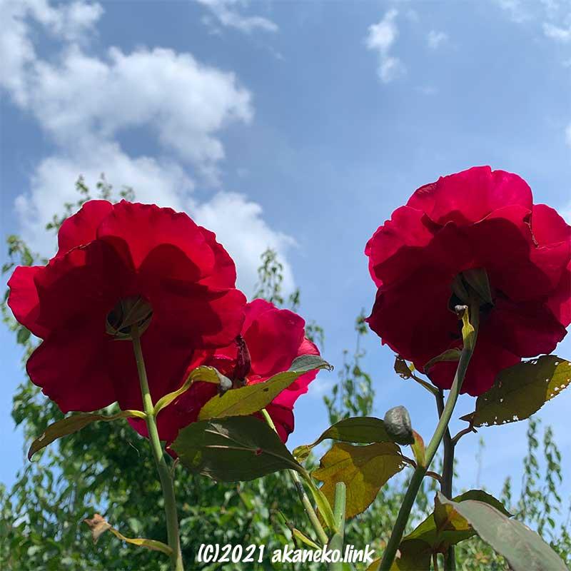 背高のっぽのバラ(ミスターリンカーン)空に向かって咲く