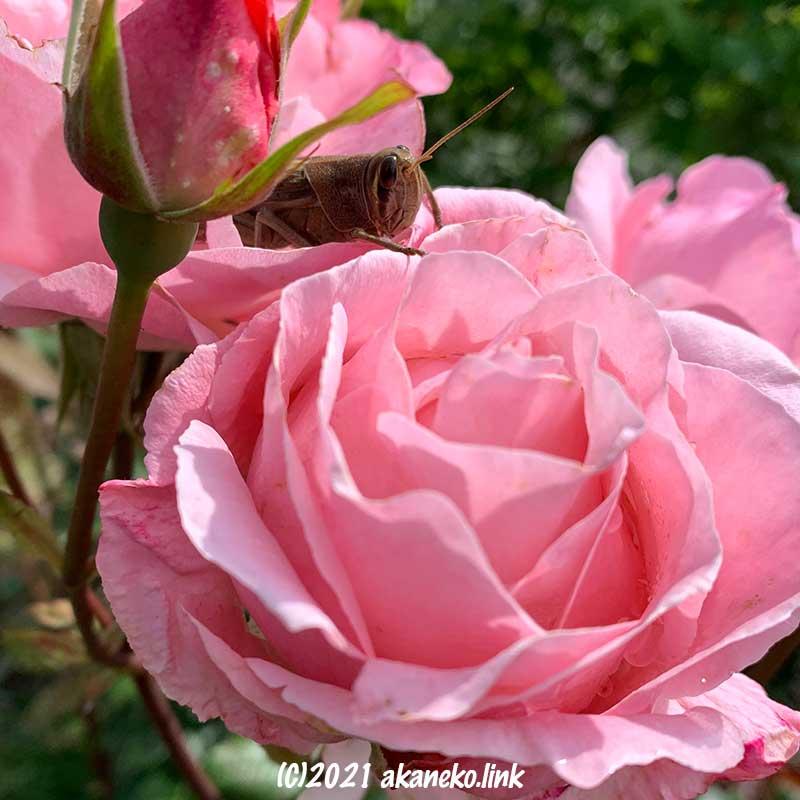 クイーンエリザベスの花の中のツチイナゴ