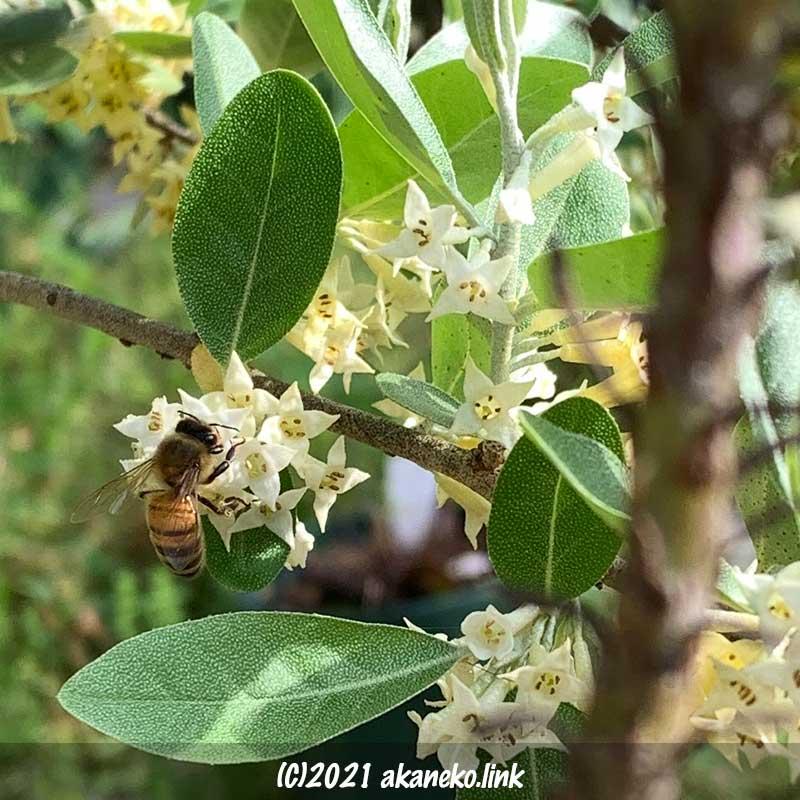 ロシアンオリーブの花とセイヨウミツバチ