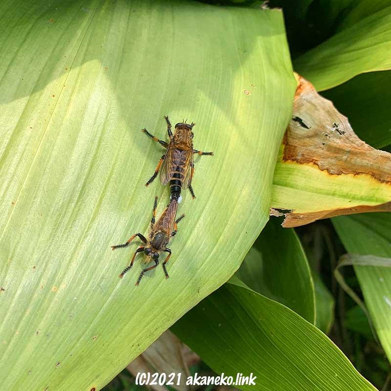 葉蘭の葉に飛んできたシオヤアブカップル