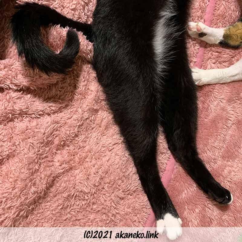 足を伸ばして寝転ぶ猫の下半身