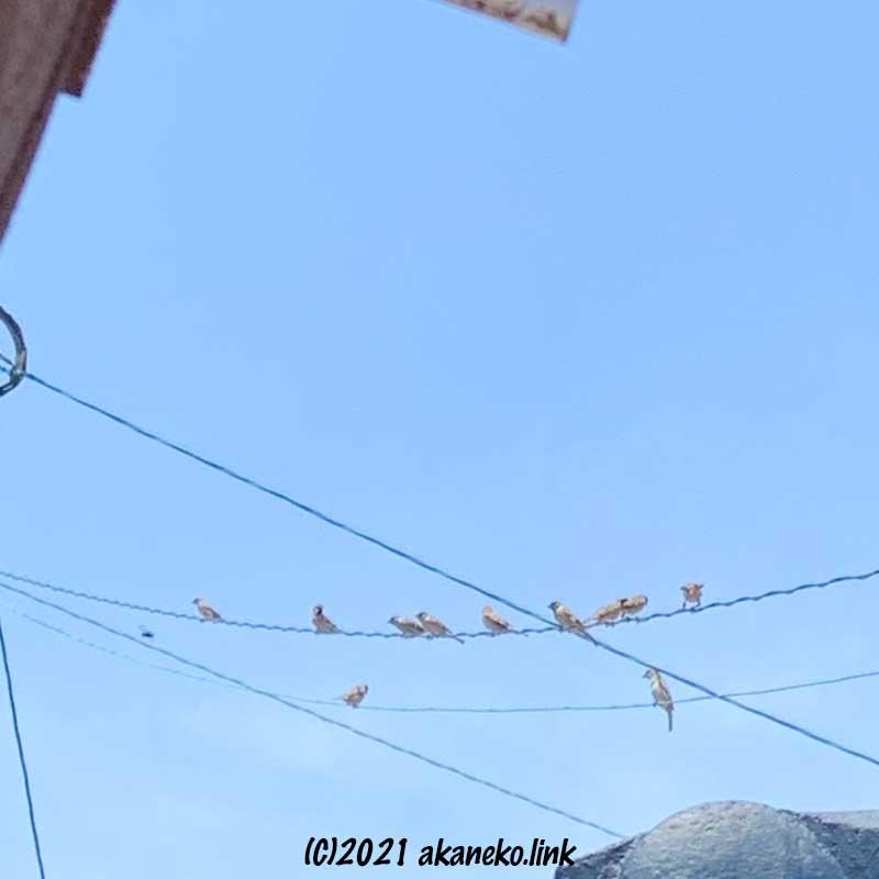 電線にとまる雀の一家