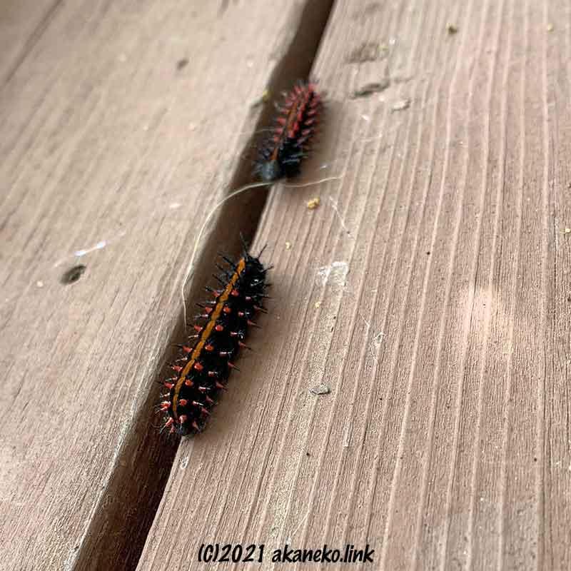 ウッドデッキの床を歩くツマグロヒョウモンの幼虫