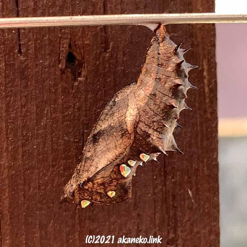 ツマグロヒョウモン(蝶)の蛹
