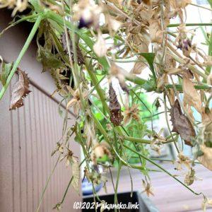 枯れたビオラと蝶(ツマグロヒョウモン)の蛹