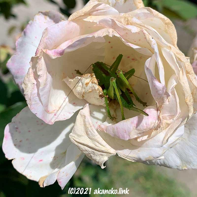 散りかけの白薔薇の中のヤブキリの幼虫