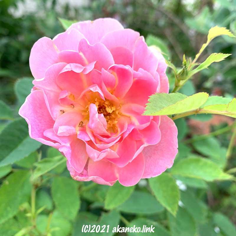 野花のような印象のバラ(ウインドフラワー)