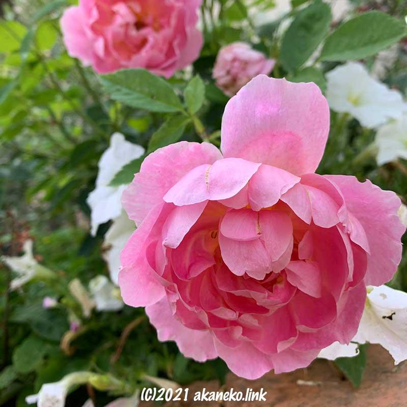 俯き加減のバラ(ウインドフラワー)