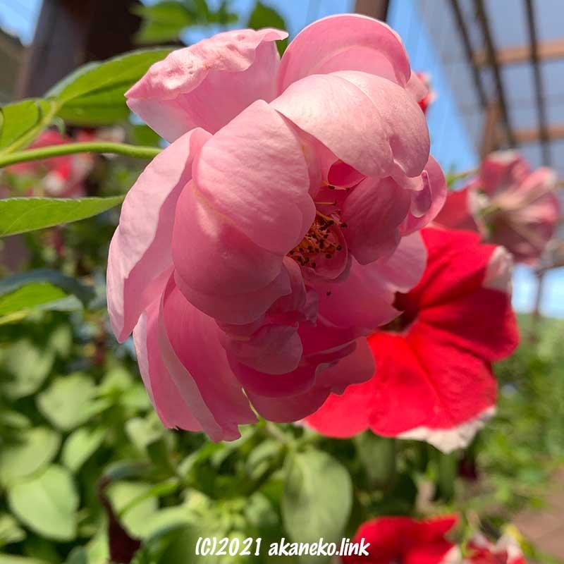 コガネムシの食害(根)から復活したウインドフラワーの花