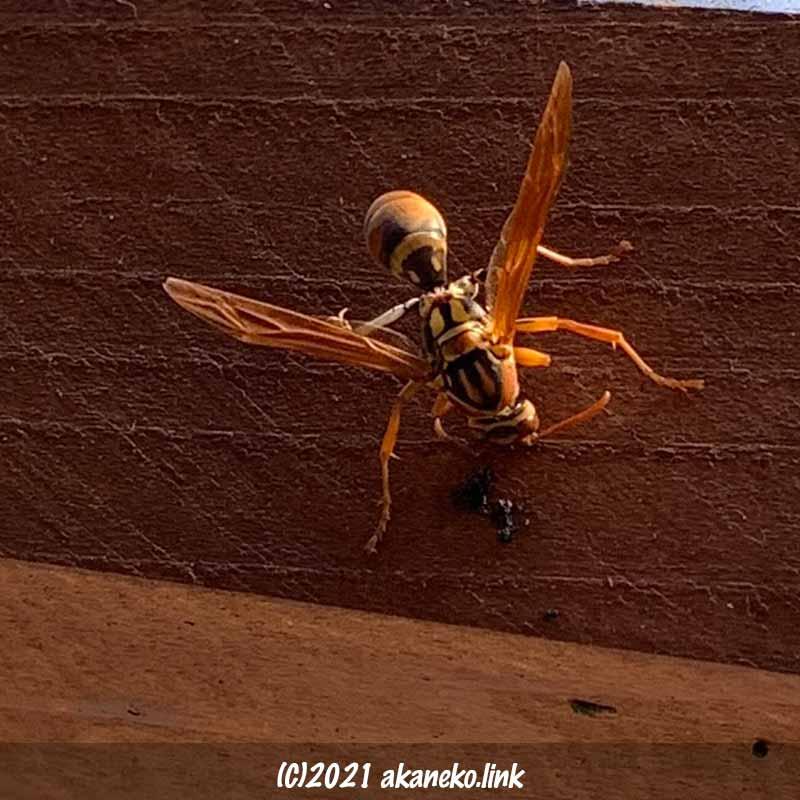 ツマグロヒョウモンの幼虫を食べているヤマトアシナガバチ