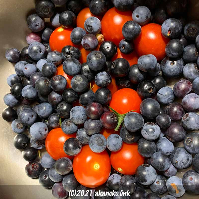 収穫したブルーベリーとミニトマト