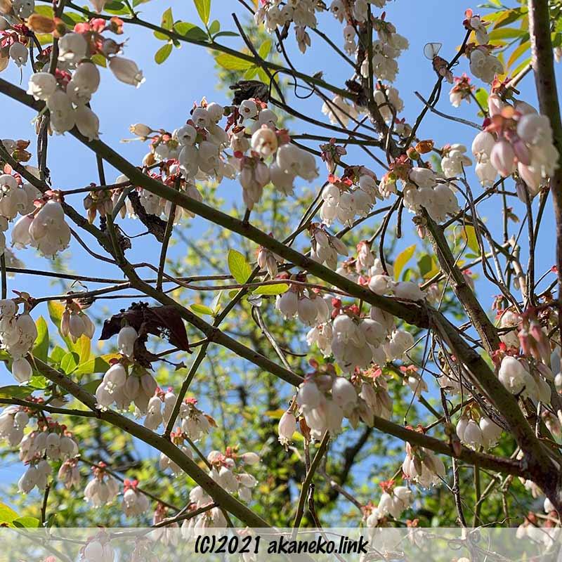 ブルーベリーの開花