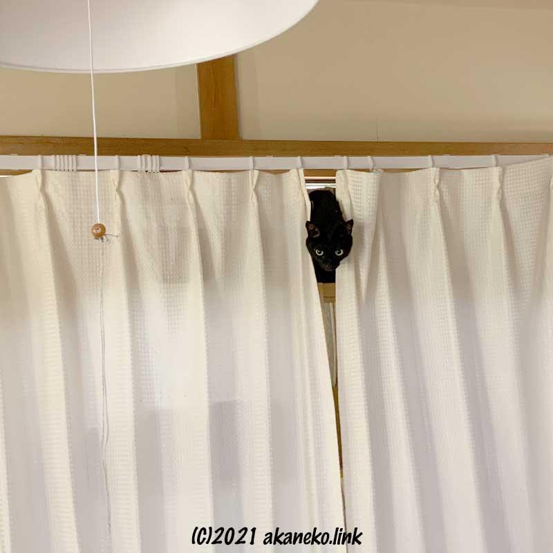 カーテンの隙間から顔を覗かせる黒猫