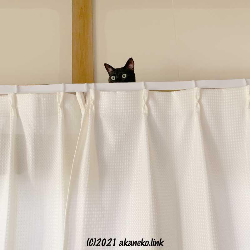 カーテンの上から恐々顔を覗かせる黒猫