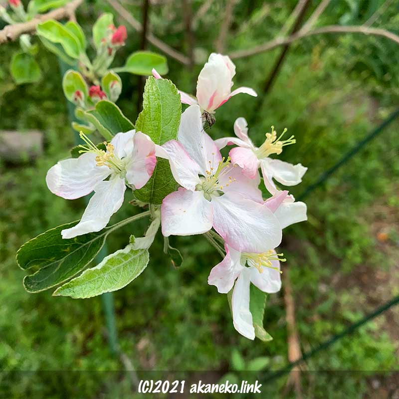 リンゴ(グラニースミス)の花