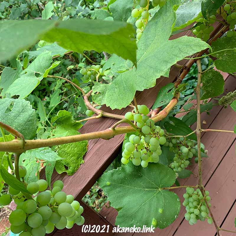 栽培5年目の葡萄ヒムロッド・シードレス
