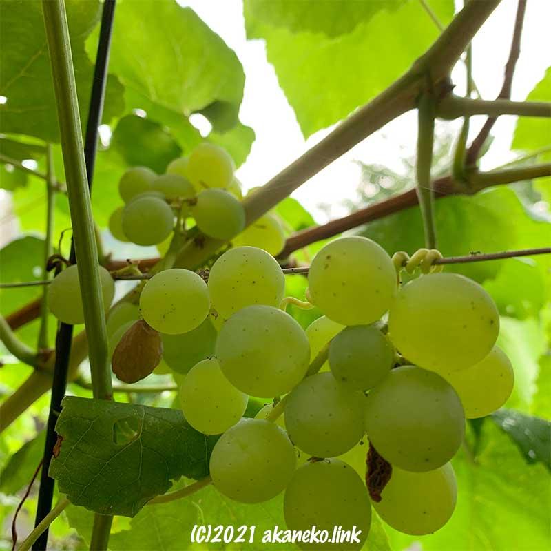 収穫を迎えた放任栽培葡萄ヒムロッド・シードレス