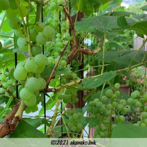 放任栽培している葡萄(ヒムロッド・シードレス)の房