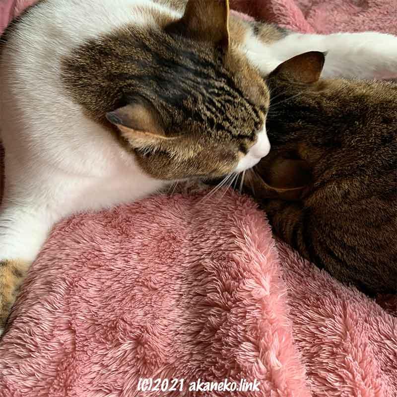 お乳を吸う3歳の猫の頭を舐める母猫
