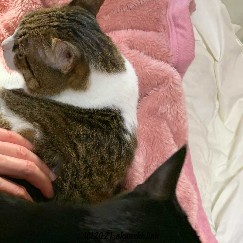 後の(黒猫)クロエを振り向くキコ(キジ猫)を制止