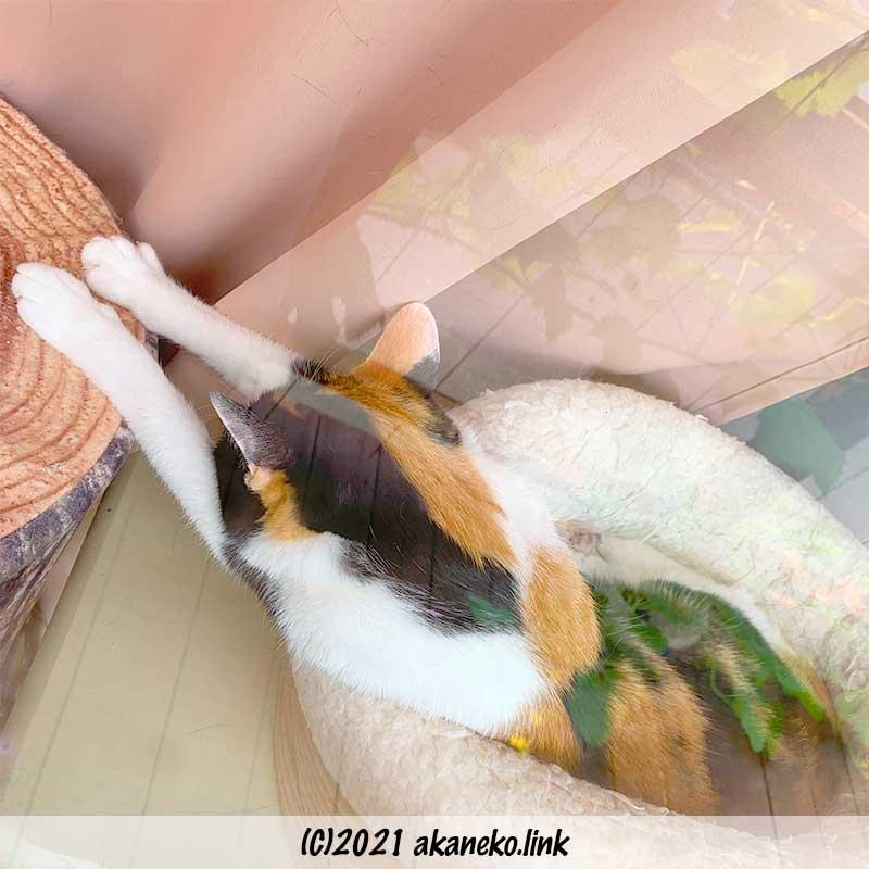両手を伸ばして寝る三毛猫