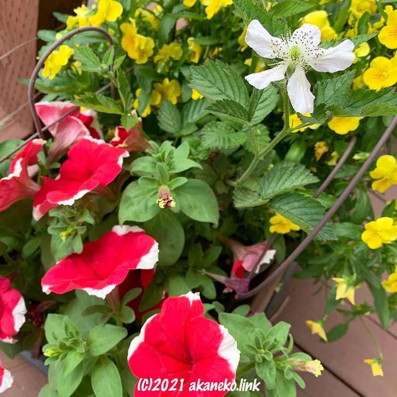 ペチュニアとビオラとブラックベリーの花
