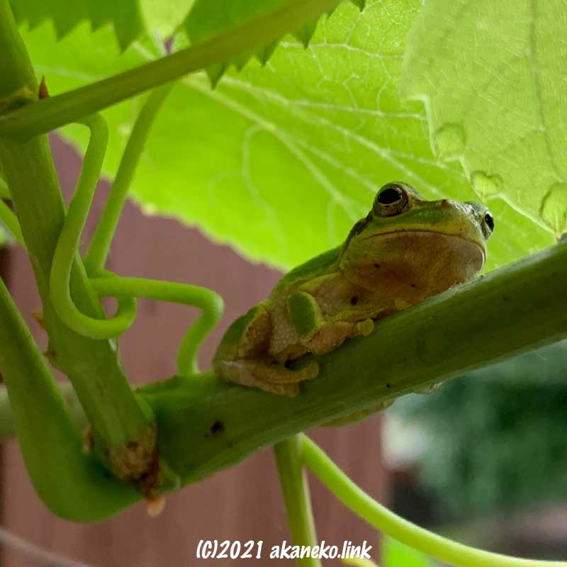 葡萄の茎に腹這っているニホンアマガエル