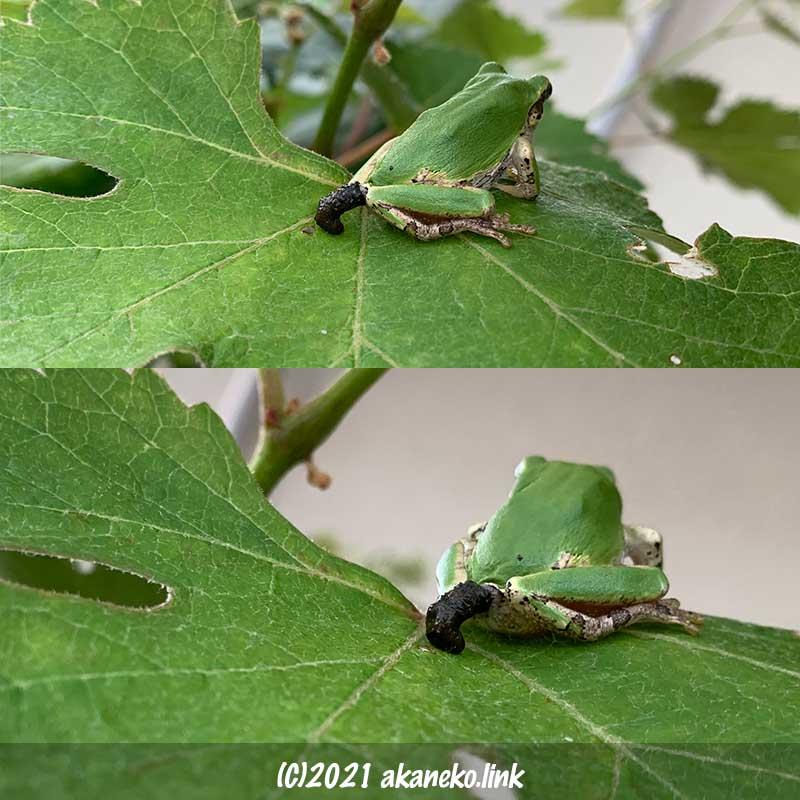 葡萄の葉の上でウンチをしているニホンアマガエル