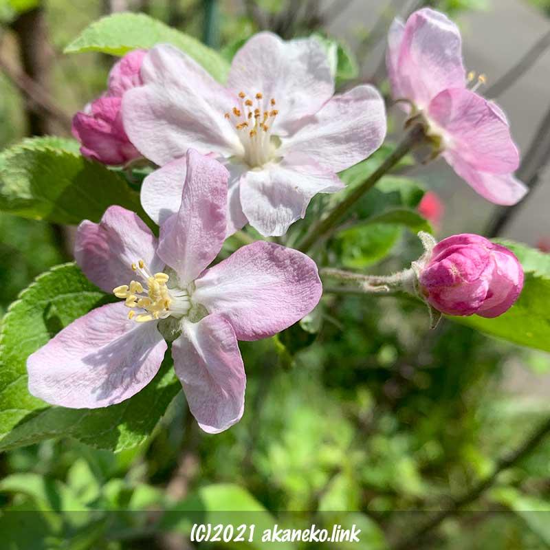 リンゴ(ローズパール)の花
