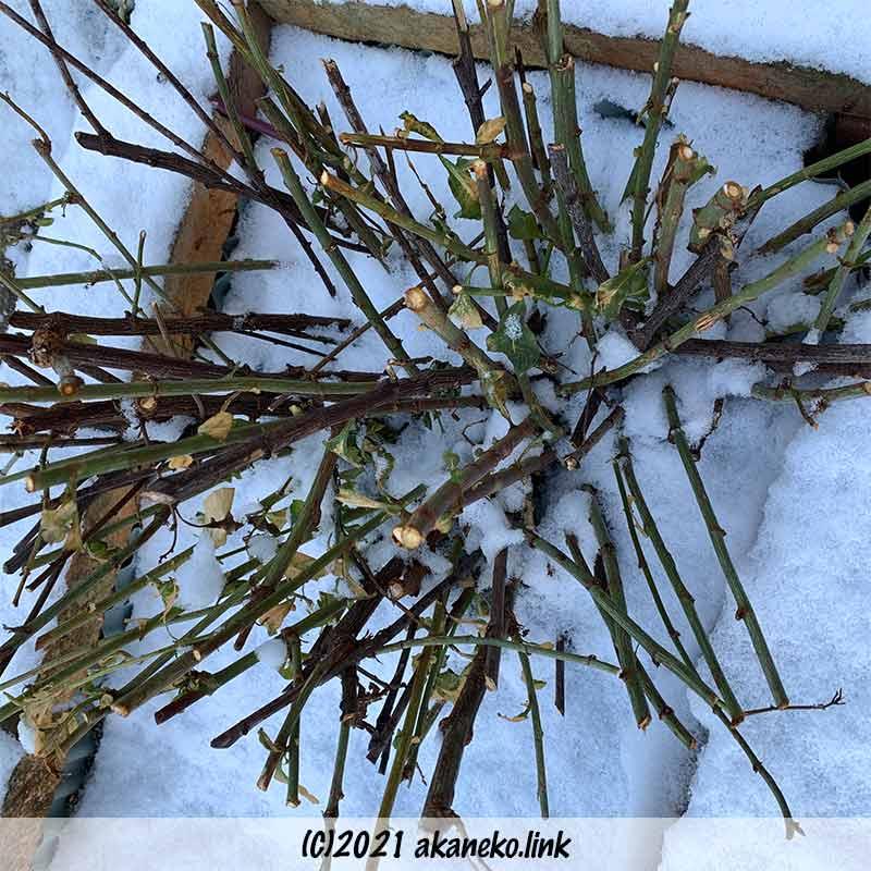 雪の日のルリマツリ