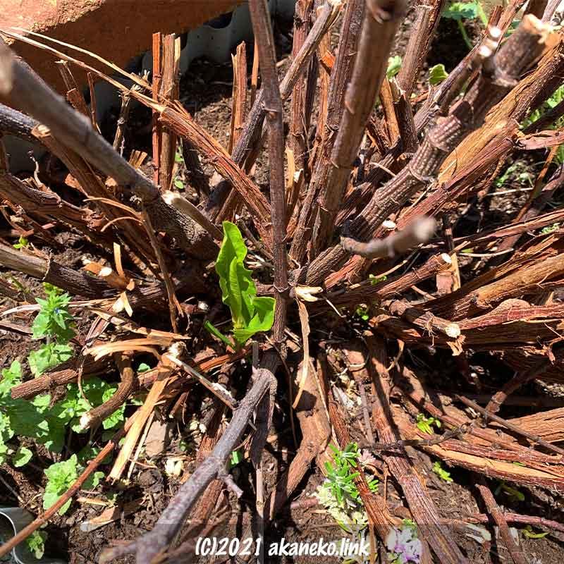 ルリマツリの一月遅れの新芽