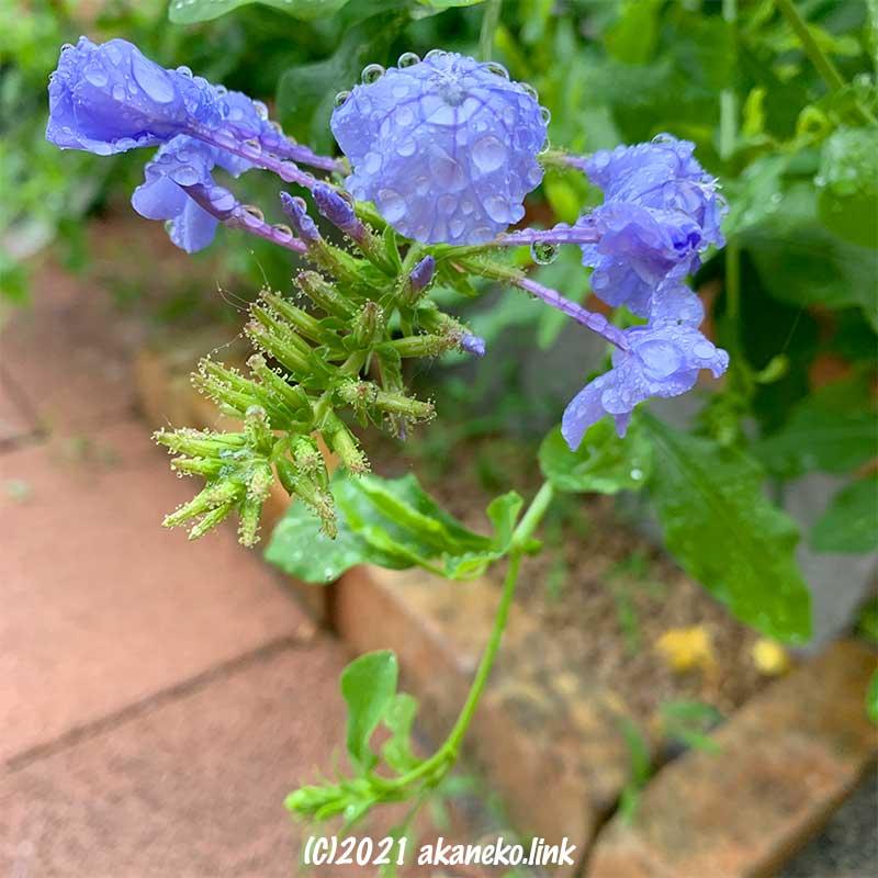 ルリマツリ雨注の初花