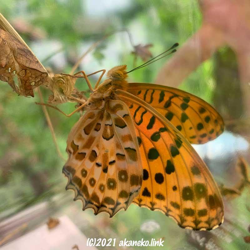 飼育ケースの中で羽化した蝶(ツマグロヒョウモン)