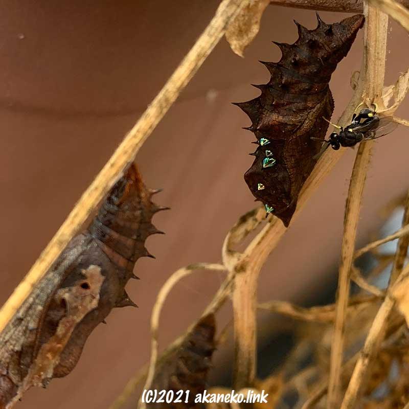 ツマグロヒョウモンの蛹に産卵しにやってきたキアシブトコバチ