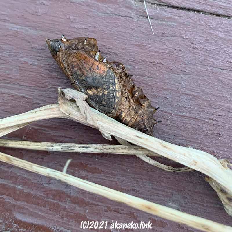 羽化できなかった蝶(ツマグロヒョウモン)の蛹