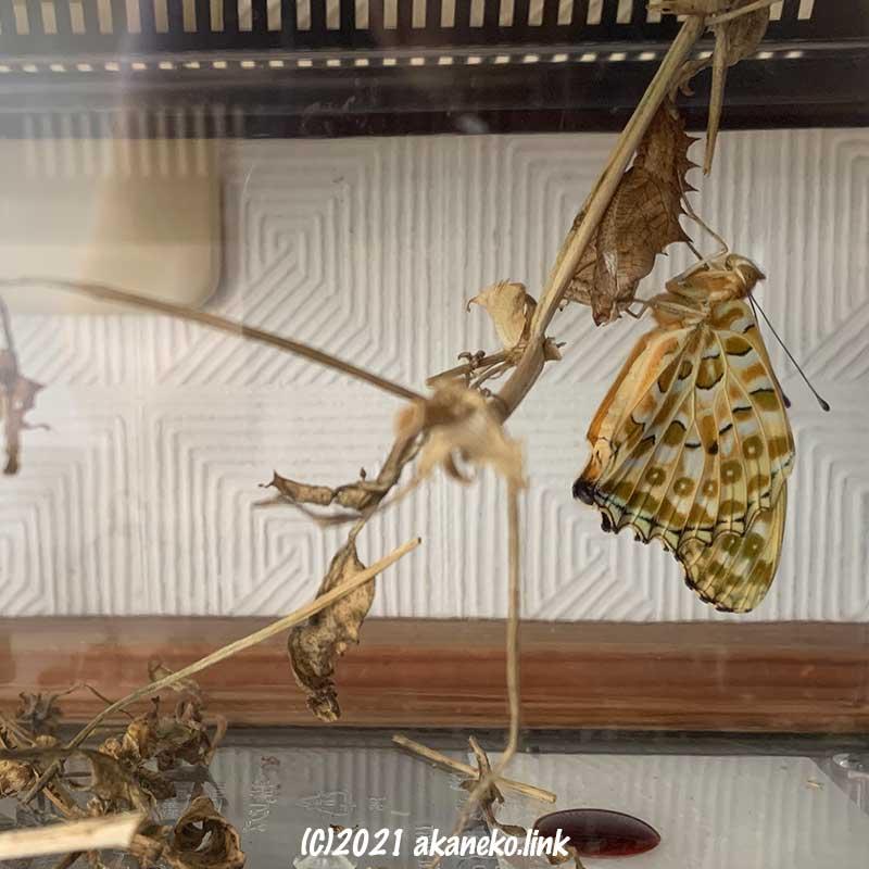 飼育ケースの中で蝶(ツマグロヒョウモン)が羽化