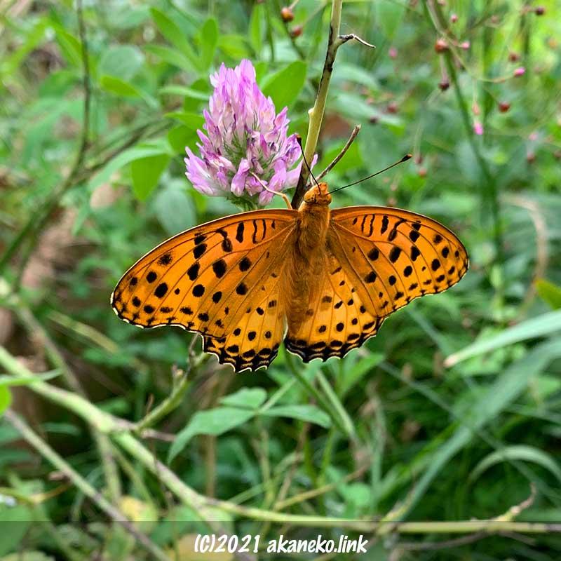 赤クローバーと羽化したての蝶(ツマグロヒョウモン)のオス