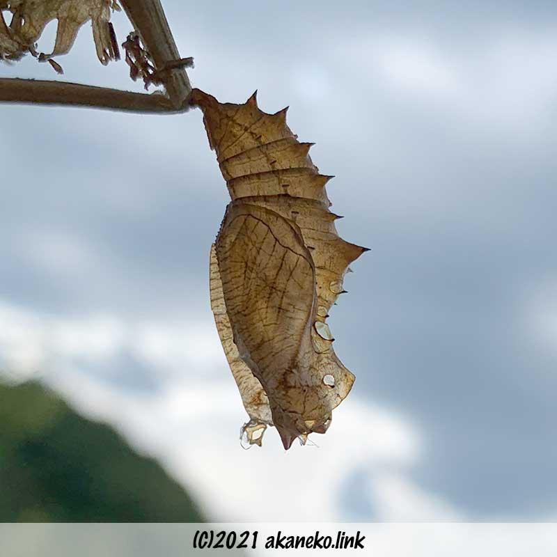 殻になった蝶(ツマグロヒョウモン)の蛹