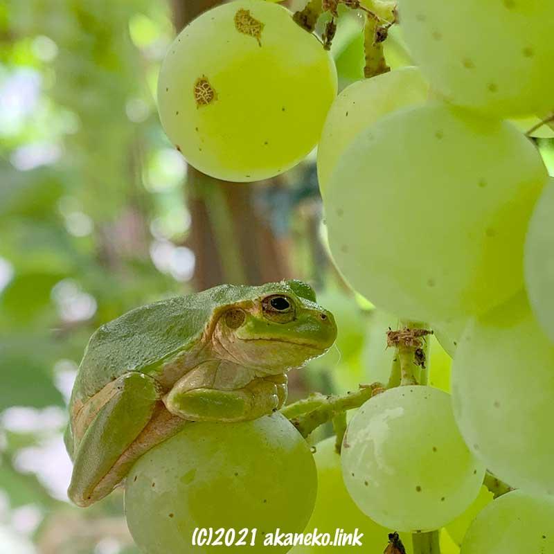 カエルが葡萄の房でひと休み