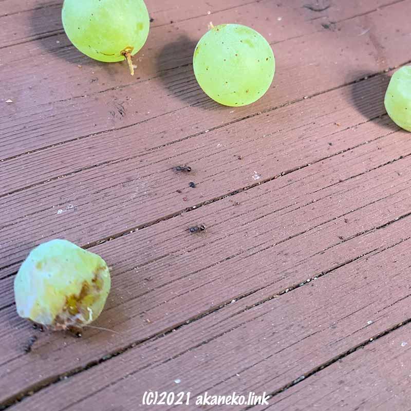 落下した葡萄の粒にアリが集まる