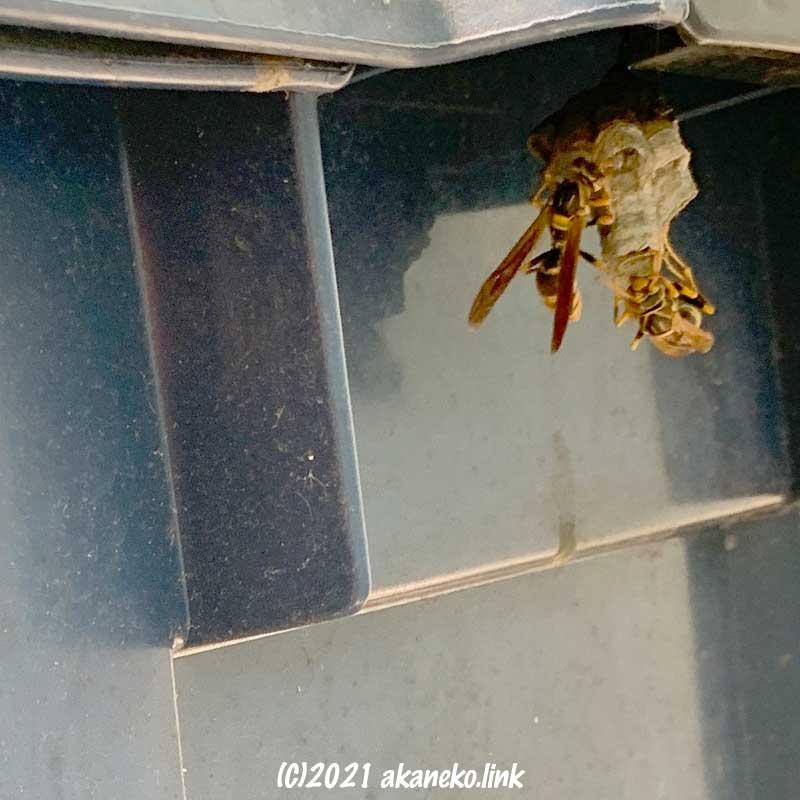 プラスチックコンテナの縁のアシナガバチの巣
