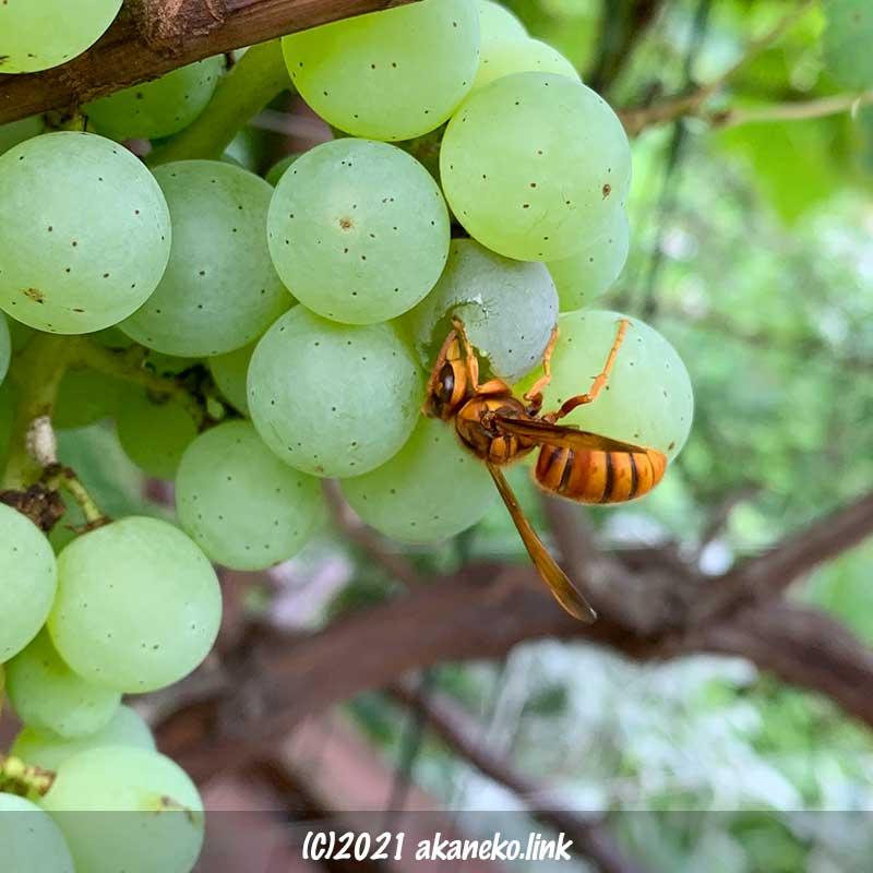 葡萄の実を食べるキイロスズメバチ