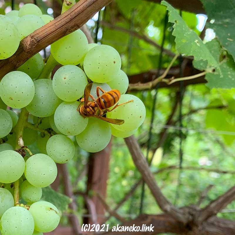 葡萄にやってきたキイロスズメバチ